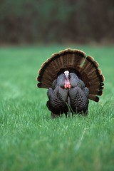 game bird turkey