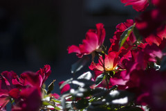 Spring (tia katty) Tags: flowers red roses nature garden spring