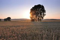 Weinviertel Niederosterreich Mollmannsdorf DSC_0739A (reinhard_srb) Tags: sonnenuntergang feld himmel grn blau baum niedersterreich getreide ferne weinviertel mollmannsdorf