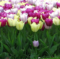 Everybody and little me (Anna's 50) Tags: tulips colors spring nature canong1x powershotg1x g1x canonpowershot canon compact