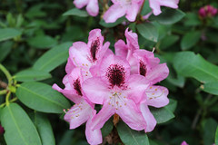 IMG_3034.JPG (robert.messinger) Tags: flowers rhodies