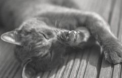 Claws (paulapics2) Tags: bw pet nature animal closeup cat garden feline depthoffield whiskers sleepy canon5d claws