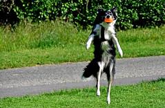 Jeu de balle... (Diegojack) Tags: nikon bordercollie chiens morges jeux nikonpassion animalires d7200