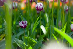 20160418_ColinHash_Tulips (soundcitybiblechurch) Tags: flowers tulips tulipfestival