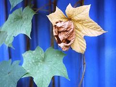 Dry Yellow (akurasai) Tags: morning blue wild plants brown plant green film yellow analog 35mm leaf gate kodak ishootfilm fresh filmcamera fujica kamera industar 50mmlens filmisnotdead colorplus fujicast801 believesinfilm