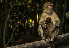 Mutterliebe (raimundl79) Tags: animal nikon photographie ngc tier affe affenberg myexplorer nikond800