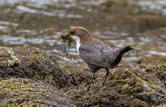 JWL1970  Dipper.... (jefflack Wildlife&Nature) Tags: nature birds countryside wildlife avian waterbirds dipper wildbirds dippers riverbirds