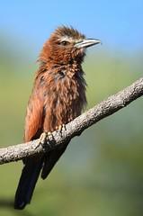 Purple Roller... on a bad day:-) (anacm.silva) Tags: africa wild naturaleza bird nature wildlife natureza ngc npc ave roller namibia etosha frica rolieiro etoshanationalpark purpleroller coraciasnaevius nambia
