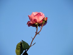 Rose to the sky vol. 2. (Annie.A.Ko) Tags: pink red sky plant flower rose bush greece macedonia thessaloniki ano poli