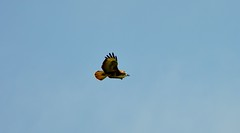 Buzzard Wild Birds  (12) and look at that lovely Blue Sky Today (John Carson Essex R.I.P. John and thank you for be) Tags: thegalaxy supersix rainbowofnature thegalaxystars
