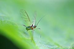 Microlophium carnosum (Mariie76) Tags: macro nature vert animaux insectes verdure feuille ailes aphidoidea puceron macrophotographie hmiptre carnosum microlophium