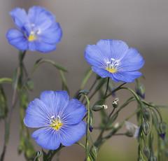 La fleur de lin (mrieffly) Tags: canoneos50d fleurdelin partrois 100400issriel printemps2016