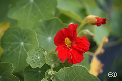 Voigtlnder Ultron 50mm 2 (Ney Bokeh) Tags: flowers 50mm dof bokeh mf voigtlnder ultron