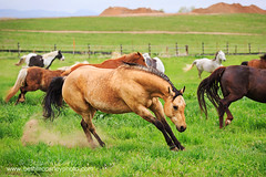 Buckskin in a Rainbow Herd (b_mccarley) Tags: horses horse green field grass animal liberty mare outdoor running run pasture equestrian canter equine gallop buckskin turnout gelding cantering horsesatliberty horseatliberty atliberty