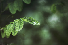 dew (pucciarellic) Tags: plant macro verde green nature rain june canon eos 50mm leaf drops natura dew rugiada pioggia pianta 600d