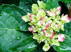 Hydrangea flowers, early (Martin LaBar) Tags: flowers leaves rain southcarolina hydrangea waterdrops hydrangeaceae pickenscounty