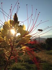 Di fiore in fiore  fino ...a sera (esterinaeliseo1) Tags: campagna tramonti fiori sole volatili allaperto