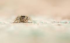 Ca faisait longtemps... (Eric Penet) Tags: wild france macro nature animal spider juin wildlife printemps nord araigne sauvage faune arachnide salticidae arachnidae macrophotographie avesnois salticide sauteuse