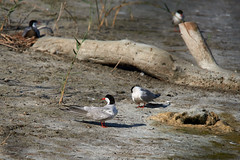 _DSC8554 (Carmen Coronado) Tags: naturaleza valencia fauna pjaros albufera sigma150500f563apodgos nikond750