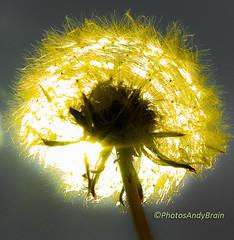 Dandelion - Minature Sun (PhotosAndyBrain) Tags: light sky sun nature solar stem photographer head stones wildlife orchard dandelion seeds backlit breeze flares illuminate optic fibre croxleygreen wd3 andybrain photosandybrain