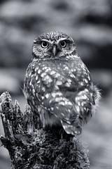Little Owl Stare B+W (zarlock81) Tags: birds scotland wildlife balloch lochlomond schottland littleowl athenenoctua steinkauz