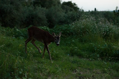 Caprioli (Eleonora Sacco | Pain de Route) Tags: deer roe capriolo animal wild wilderness impruneta tuscany toscana italy hills vineyards olive fiori natura