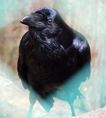 Kolkrabe (Corvus corax corax) P1000884 (martinfritzlar) Tags: bird zoo raven tiergarten tier vogel nrnberg rabe corax corvus corvidae rabenvogel singvogel kolkrabe
