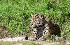 Jaguar (Panthera onca) relaxed female after her meeting with the male ... She made her point !!! (berniedup) Tags: pantanal portojofre poconé jaguar pantheraonca taxonomy:binomial=pantheraonca riosãolourenço animal carnivore bigcat