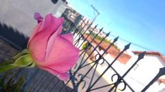 roses (Rodrigo Alceu Dispor) Tags: city pink flower rose