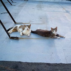 Next TNR target: these two moms, their kittens and hopefully the dude who knocked them up. #TNR #feralcats #bushwickcats #roofcats (Jimmy Legs) Tags: two up who kittens next dude moms target knocked hopefully them these their tnr feralcats roofcats bushwickcats