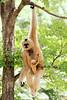 Nashville Zoo: new Gibbon Mother & Baby Male (SeeMidTN.com (aka Brent)) Tags: animal zoo tn nashville tennessee primate motherandchild gibbon motherandbaby grassmere nashvillezoo whitecheekedgibbon nomascusleucogenys bmok bmok2