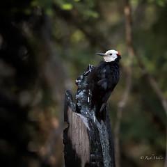 White-headed Woodpecker (morrobayrich) Tags: drumming sequoianp whioteheadedwoodpecker picoidesalbolavatus