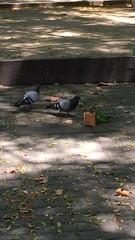 Esta #cotorra (Myiopsitta monachus) tiene un #botn y no est dispuesta a compartirlo #palomas #dove #parakeet #pigeon #aves #birds #swag #monkparakeet #psittaciformes #pajaros #bcn #barcelona #humor #wtf #etologia (Carolina_BCN) Tags: cotorra botn palomas dove parakeet pigeon aves birds swag monkparakeet psittaciformes pajaros bcn barcelona humor wtf etologia