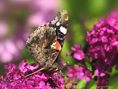 Atalanta (Manon van der Burg) Tags: flower macro nature canon garden happy blossom tuin atalanta vlinder butterflie colourfull dephtoffield natuurfotografie macrofotografie zomergevoel sx60 vlinderfotografie powerrrrshot