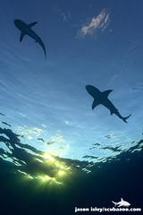 Caribbean reef shark - Carcharhinus perezi and lemon shark - Negaprion brevirostris (Jason Isley) Tags: jason lemon tiger jim sharks bahamas reef isley abernathy carabbean scubazoo