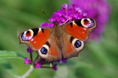 Tagpfauenauge (Aah-Yeah) Tags: butterfly bayern peacock io schmetterling achental nymphalis tagpfauenauge chiemgau tagfalter marquartstein