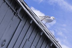 Shake a leg (_K3_8951) ([Rossco]:[www.rgstrachan.com]) Tags: roof sky holiday canada vancouver britishcolumbia seagull gull 2014 lightshed lizmagor