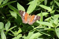 (Vagner Eifler) Tags: brasil natureza portoalegre borboleta riograndedosul borboletas pontagrossa centrosocialedetreinamentobanrisul