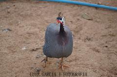 Galinha D'angola (@luizjrgarcia) Tags: life chicken galinha sony sigma vida passion alpha 50 paixo sigmalens 50200 a37 luizgarcia dangola alpha37 slta37