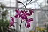 Epicattleya Roman Ruby (douneika) Tags: orchid roman orchidaceae orquidea ruby orchidee orchidea epicattleya