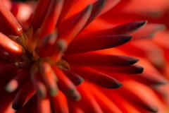 Red Hot Pokers, Aloes (David Parody) Tags: david m parody 2014