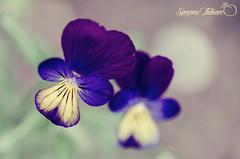 Soft Viola (EXPLORED #136 01/04/15) (meepeachii) Tags: flowers flower colors germany colorful soft bokeh lila explore lilac botanic blume viola stiefmütterchen explored