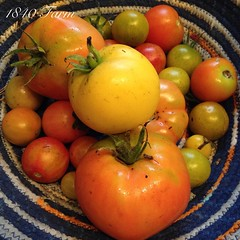 "Harvesting nearly two pounds of ripe heirloom tomatoes from the unheated hoop house on the first day of November in New England seems like a major accomplishment. Thanks to Advance Greenhouses for making these beauties possible by helping me to choose the • <a style=""font-size:0.8em;"" href=""http://www.flickr.com/photos/54958436@N05/15682511621/"" target=""_blank"">View on Flickr</a>"