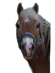 Saaaaaar (gill4kleuren - 12 ml views) Tags: life horse me sarah fun outside happy running gill saar paard haflinger