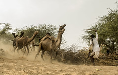 Force. (arvindRlaxman) Tags: brown india leather force fierce fair camel moment capture pushkar incredible camels muddy rajasthan 386 cwc rajasthani tamron2470 500px realview canon60d chennaiweekendclickers 121clicks