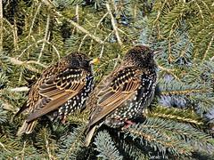 (Sarah-Vie) Tags: img tourneaux 7456 oiseauxduqubec