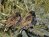 (Sarah-Vie) Tags: img étourneaux 7456 oiseauxduquébec