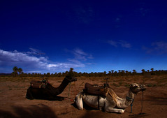 2014-11-17 (Gim) Tags: desert dromedary camel morocco maroc marokko kamel marocko dromadaire chameau dromedar  almaghrib rken sudmaroc southernmorocco gim southmorocco knen guillaumebavire