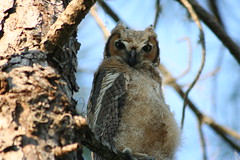 Fledgling Number One, Great Horned Owl, Bubo virginianus, Mulberry Florida Area, Photo by Wes (wesbird72) Tags: green eye pinetree pine america wings eyes florida fort great wing feathers young feather ears down american ear owl fir aba horn winged molt downy fledgling greathornedowl mulberry firtree feathered fledglings horned molting lonesome bubovirginianus youngbird northamericanbirds floridabird floridabirds youngbirds hillsboroughcounty americanbirds birdsofnorthamerica americanbirdingassociation floridabirding fortlonesome photobywes ftlonesome mulberryflorida abaarea floridabirder americanbirding americanbirder mulberryfloridaarea