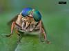 Mosca (Gelert, el eterno aprendiz) Tags: mosca insecto macro canon bicho ojos ltytr1 ltytr2